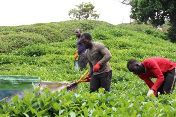 Afrikalı işçiler çay hasadı için Doğu Karadeniz'de