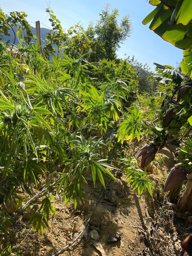 Alanya'da muz tarlasına ekilen uyuşturucu emniyet güçlerinin gözünden kaçmadı
