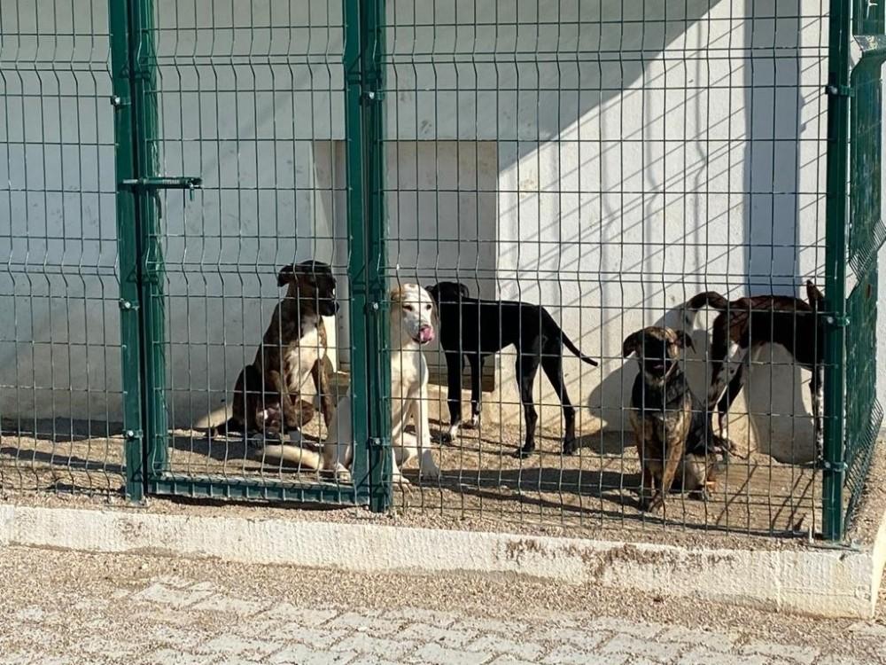 Başıboş köpeklerin Aksu'ya bırakıldığı iddiası