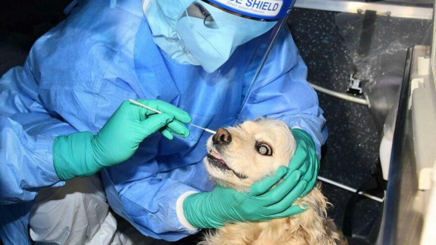 Evcil kedi ve köpeklere ücretsiz corona testi uygulanmaya başlandı