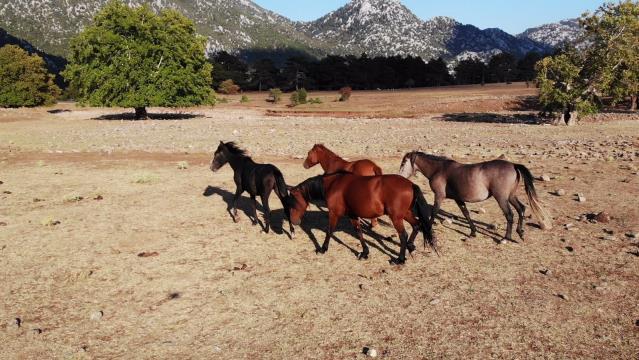 'Yılkı atları' yaşam alanlarına geri döndü